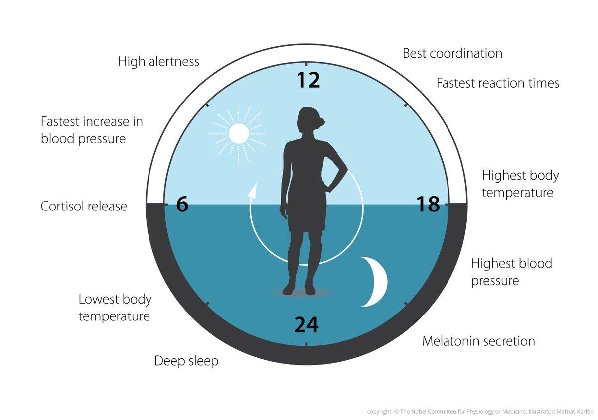 El sorprendente mecanismo del reloj biológico que descubrieron los  ganadores del Nobel de Medicina - Infobae