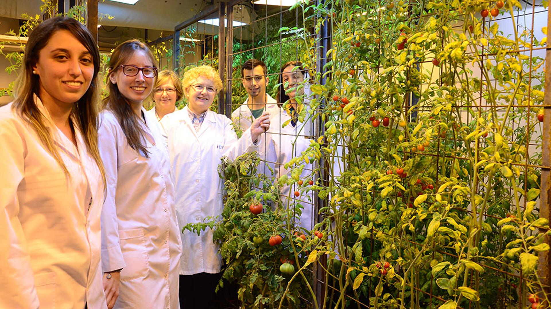 Científicos del Conicet encontraron la forma de poder cosechar tomates frescos y naturales durante todo el año sin tener perdidas durante la época invernal (CONICET Rosario)