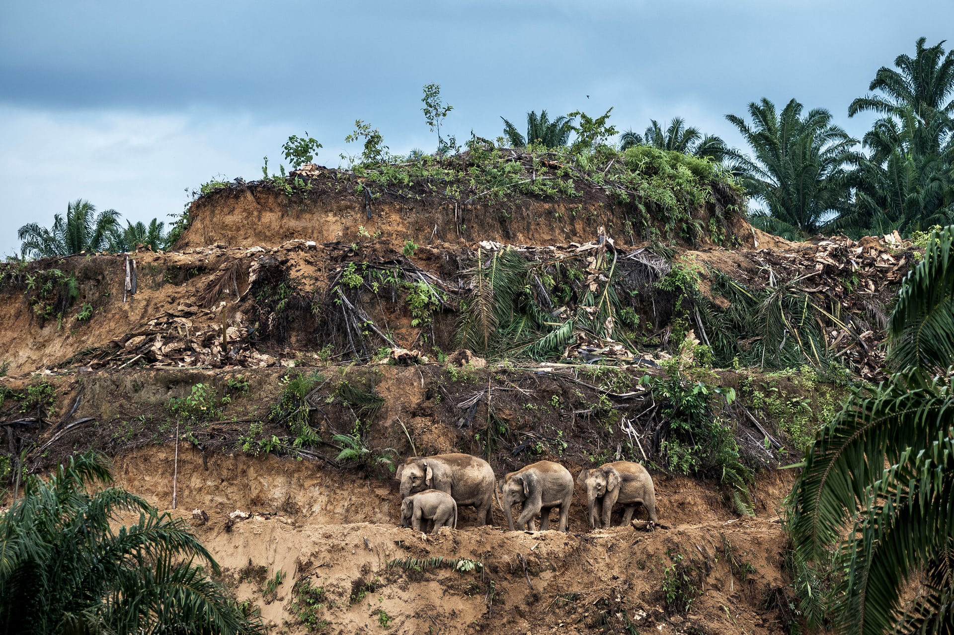 "'Palm-oil Survivors', de Aaron ""Bertie"" Gekoski. Categoría: ""Fotoperiodista de la vida silvestre, imagen única"""