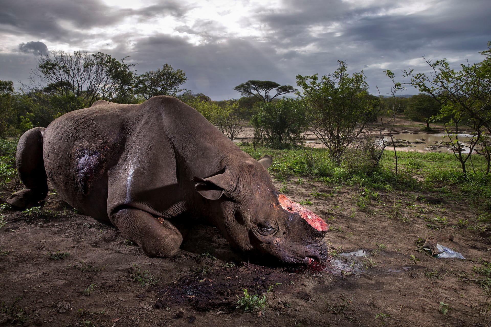 """Ganador: 'Memorial to a Species', de Brent Stirton, Sudáfrica. Categoría: """"Historia"""""""