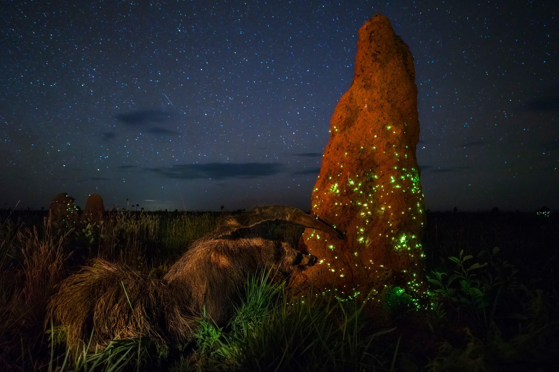 """'The Night Raider', de Marcio Cabral. Categoría: """"Animales en su medio ambiente"""""""