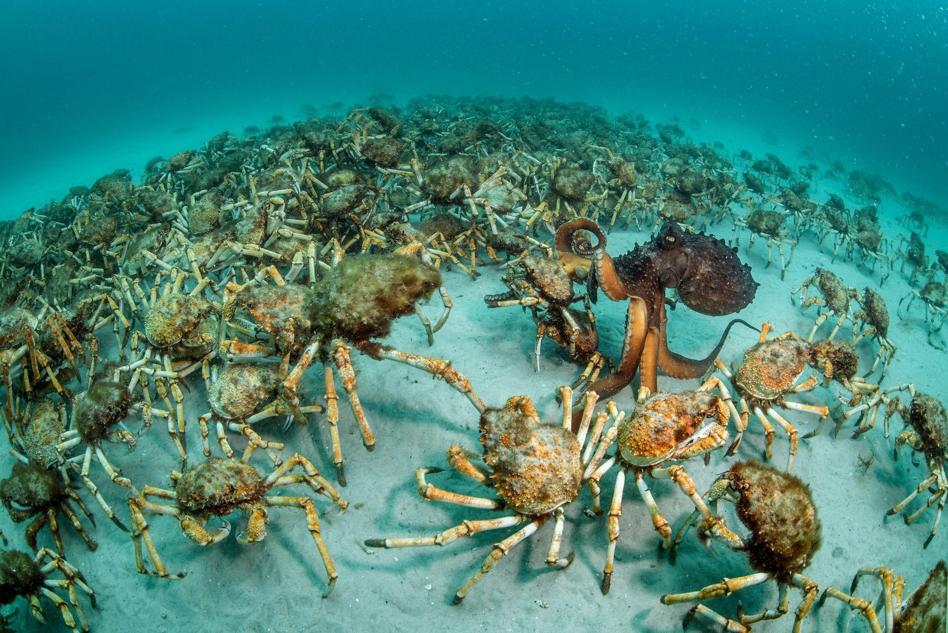 """'Crab Surprise', de Justin Gilligan. Categoría: """"Comportamiento, invertebrados"""""""
