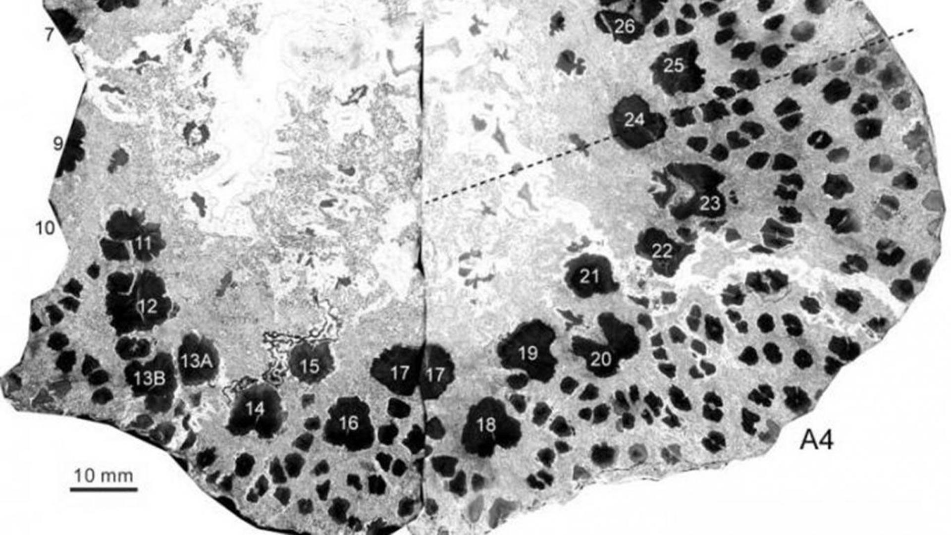 Los científicos observaron en un grupo de troncos petrificados que estos filamentos, que reciben el nombre de xilema (PNAS)