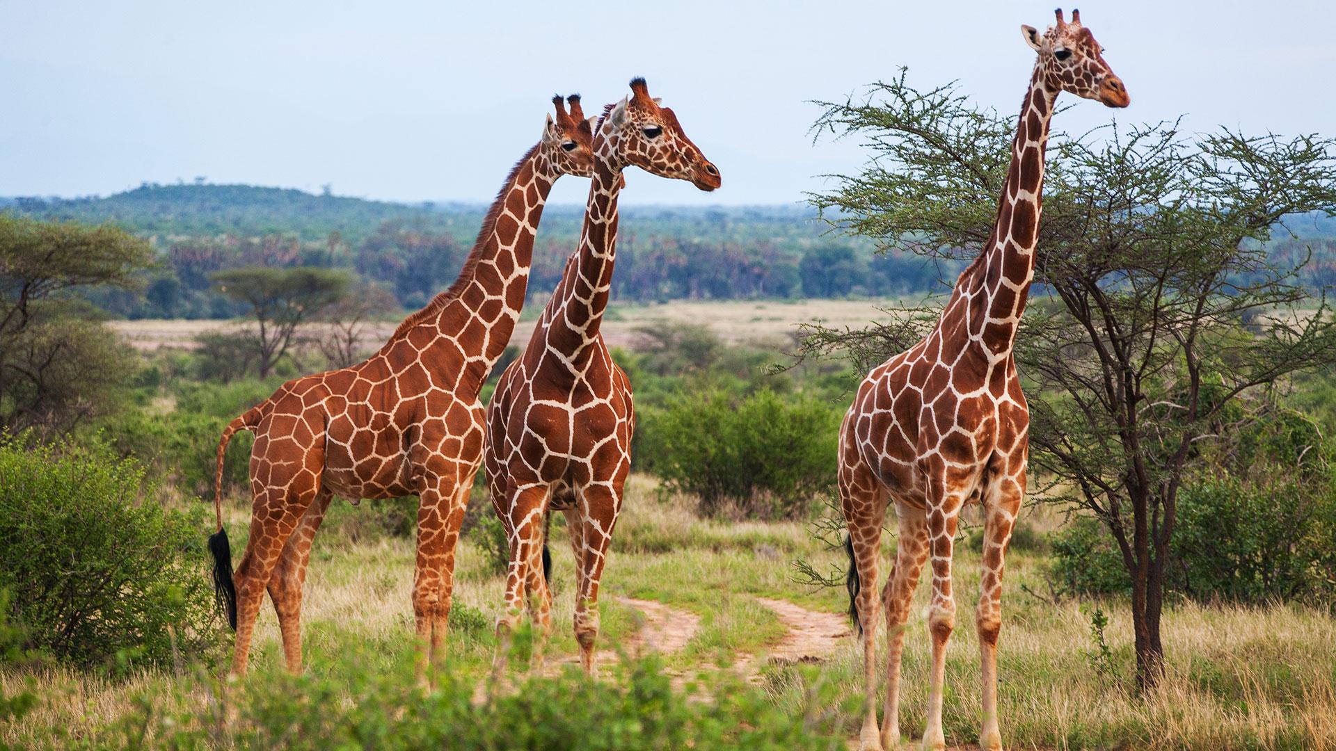Describen una nueva especie de jirafa que vivi hace 9 for Taxonomia de la jirafa