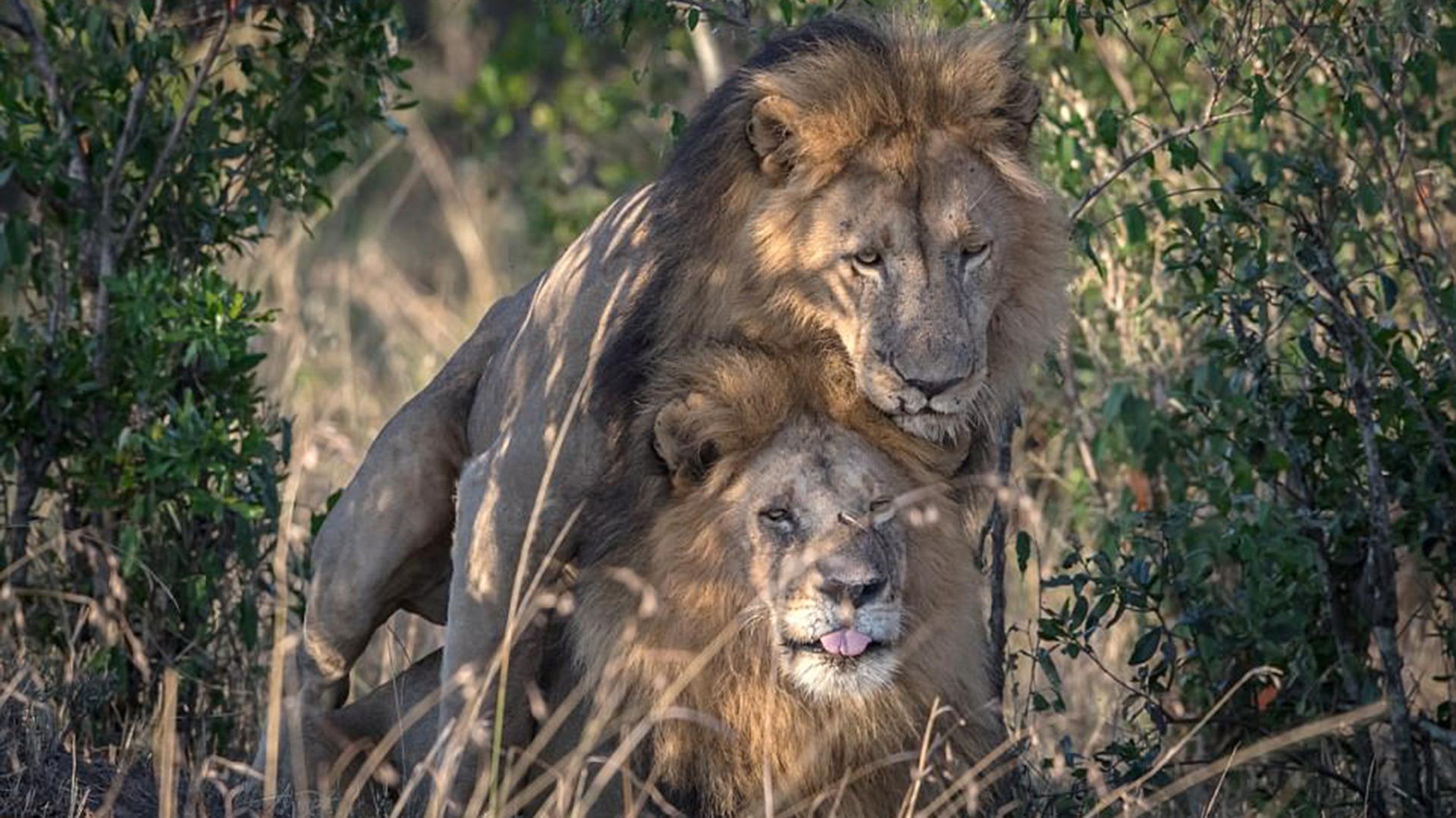 Los leones fueron fotografiados teniendo sexo en el parque nacional de Masai Mara