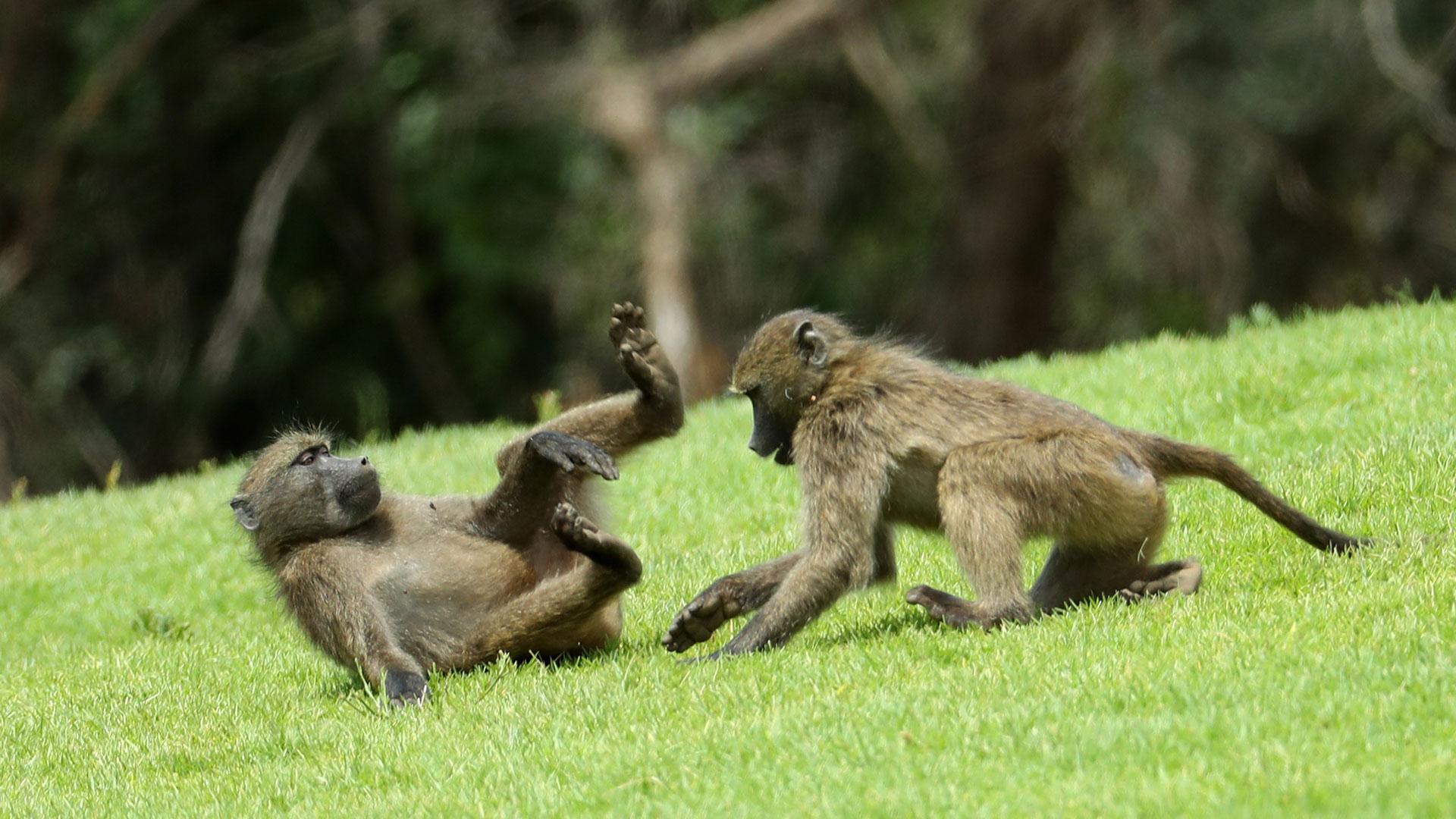 En 2016, una familia de Baboons interrumpió el juego