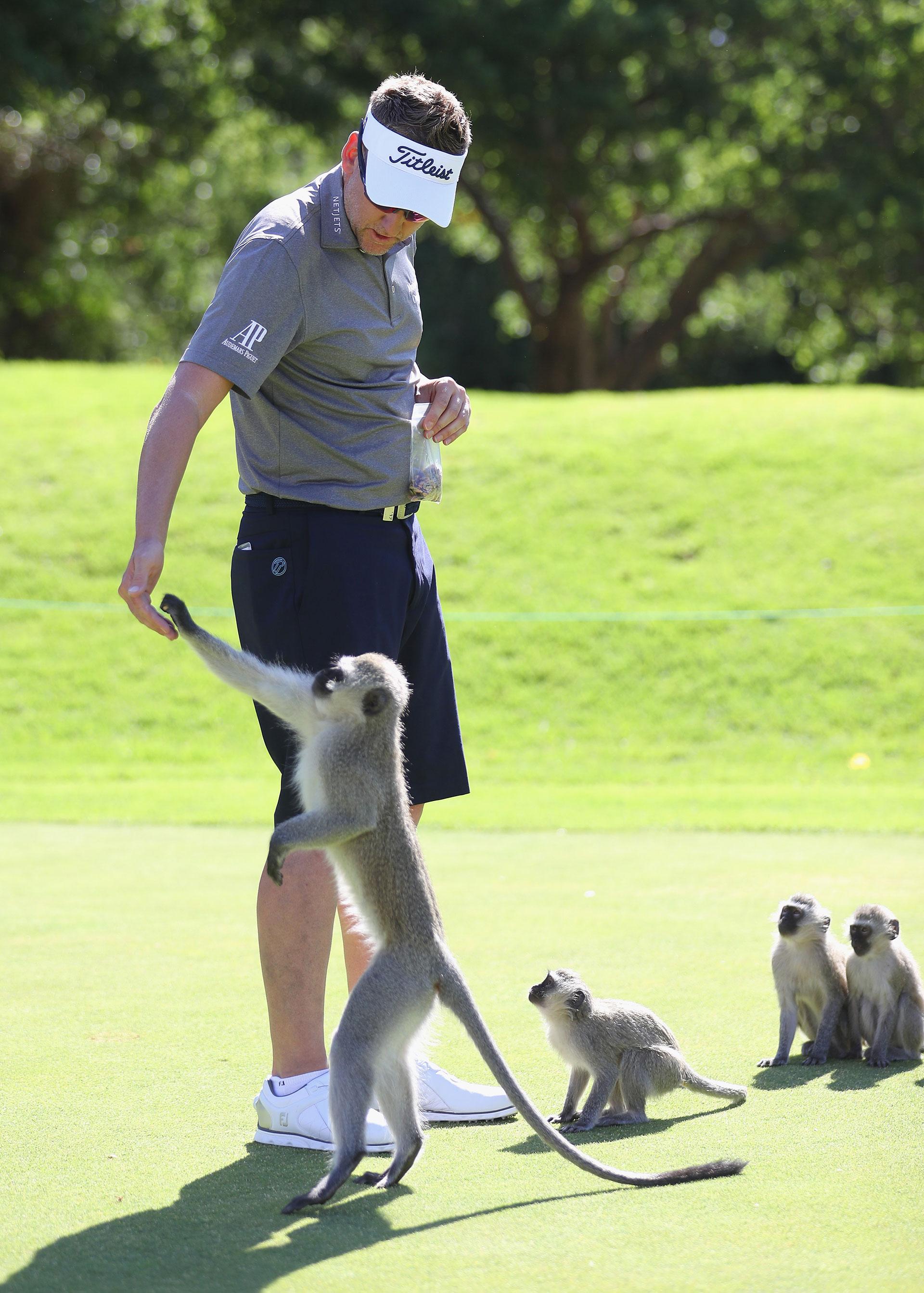Este año, el británico Ian Poulter se vio rodeado de estos agradables animales