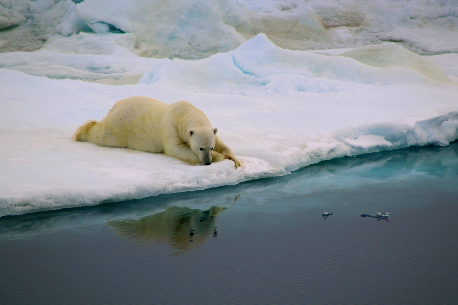 """Ganadora de la categoría Comportamiento. """"Respiro"""", por Antonia Doncila. Esta fotografía fue tomada mientras cruzaba el estrecho de Fram para recuperar y volver a desplegar el equipo de amarre cerca de la costa este de Groenlandia. Dado que el Océano Ártico se está calentando al doble de la tasa en comparación con el resto del mundo, fue doloroso pero no sorprendente ver que el hielo marino era escaso. En el viaje se vieron osos polares nadando en un océano de aguas abiertas sin sombra de hielo marino en el que descansar sus pesados cuerpos. Esos osos polares están condenados a morir por sobrecalentamiento mientras nadan sin esperanza en ninguna dirección. El protagonista de esta fotografía ha sido afortunado. Encontró una porción de hielo rápido que rápidamente se convirtió en su hogar. Su mirada en el agua representa el producto de los errores humanos. También es un símbolo de esperanza porque lo que se derritió puede volver a congelarse. Teleobjetivo Canon EOS 5D Mark II + Tamron (70-300 mm, f5.6); El contraste de la imagen se ajustó ligeramente en Picasa Photo Editor"""