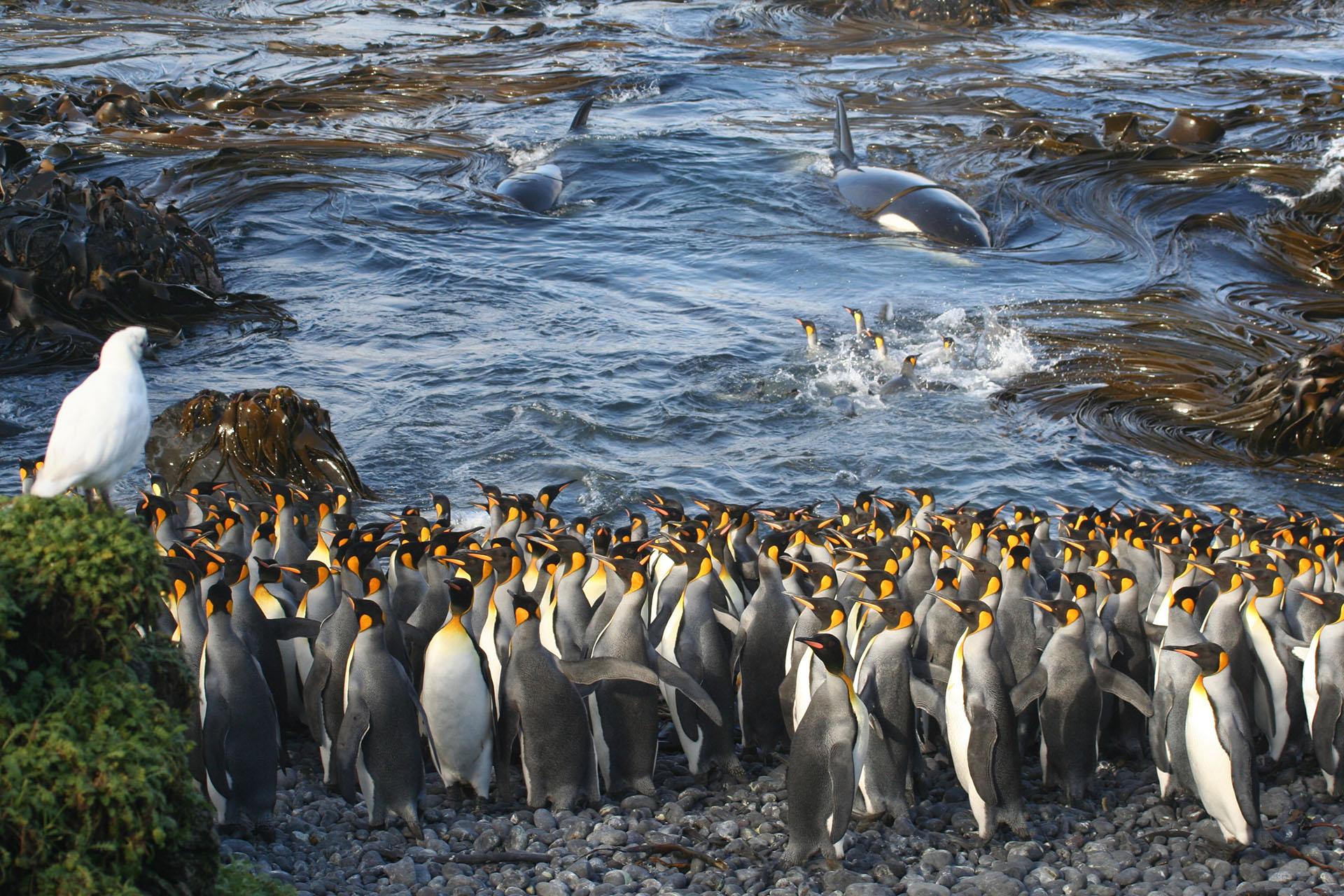 """Ganador de la categoría Ecología y ciencia ambiental. """"Esperando en los bajíos"""", por Nico de Bruyn. Las ballenas asesinas entran repentinamente en una pequeña bahía en la isla Subantártica de Marion, lo que sorprende a un pequeño grupo de pingüinos rey atareados en el agua. Los pingüinos en la playa en primer plano se centran en este peligro repentino, mientras que otra ave inspecciona la colonia en busca de comestibles, totalmente despreocupada con la aparición de las orcas. Esta foto fue tomada con una vieja Canon EOS350D, a una distancia focal de 55 mm (lente estándar Canon), tiempo de exposición 1/200 con f-stop f / 7.1 a una velocidad ISO de 200"""