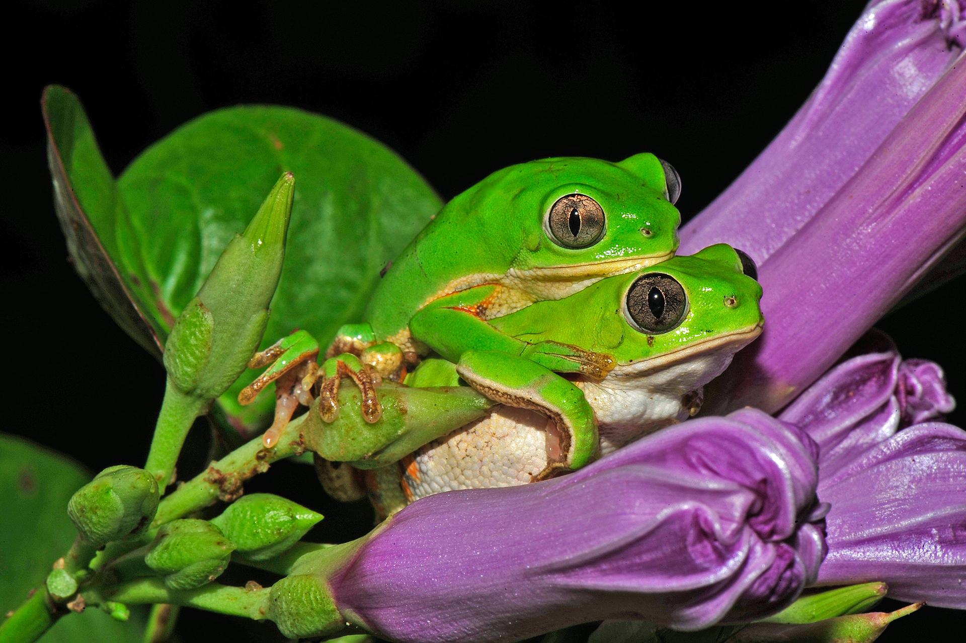 """Mención de honor: Ecología y ciencia ambiental. """"La temporada de lluvias, la rana arborícola verde y el mantenimiento de la vida"""", por Carlos Jared. La pequeña rana arborícola Phyllomedusa nordestina vive en el desierto semiárido brasileño (Caatinga) y permanece, al menos durante 8 meses del año, totalmente escondida, protegiéndose contra la desecación. Temprano en el año, después de las primeras lluvias de verano, el paisaje seco, marrón y cactáceas de la Caatinga da lugar a un magnífico escenario verde, despertando la flora y la fauna inactivas. Las aparentemente frágiles ranas arbóreas siguen esta misma tendencia y cambian su color pardusco habitual por el verde fresco del verano. Con esta nueva prenda, se aparean dentro de las flores y las hojas que también colorean el escenario, a menudo (como en este caso), con una pompa natural. La reproducción generalmente ocurre en charcos o en las costas de pequeños pantanos temporales. Todo debe ser muy rápido porque la sequía regresará despiadadamente. Cámara: Nikon D3 Lente: AF-S VR Micro-Nikkor 105 mm. ISO 250, f / 45, 1/60. Flash: luz de aproximación inalámbrica de primer plano Nikon R1C1"""