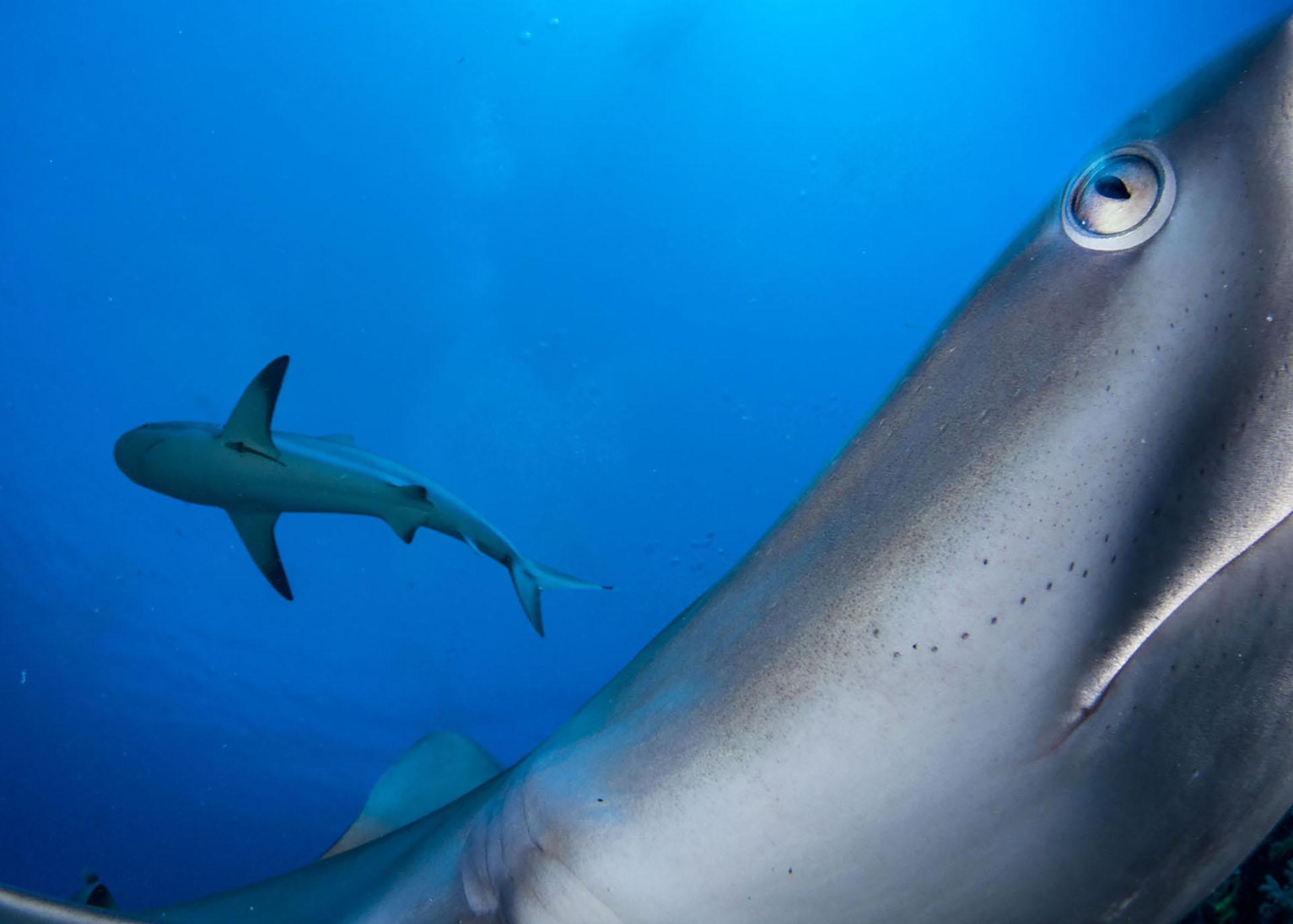 Típicamente una especie tímida, un tiburón de arrecife del Caribe investiga una cámara activada a distancia en el área protegida marina Gardens of the Queen de Cuba.