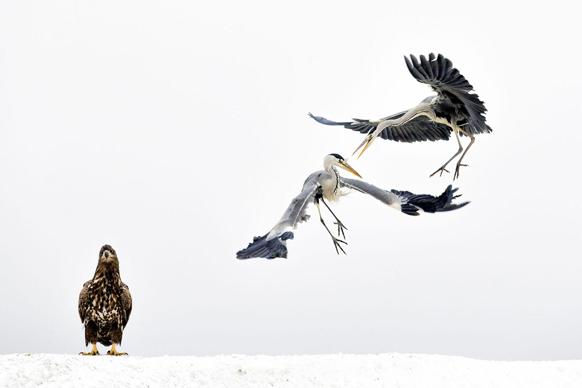Dos garzas grises pelean ante la mirada de un águila de cola blanca en Hungría.