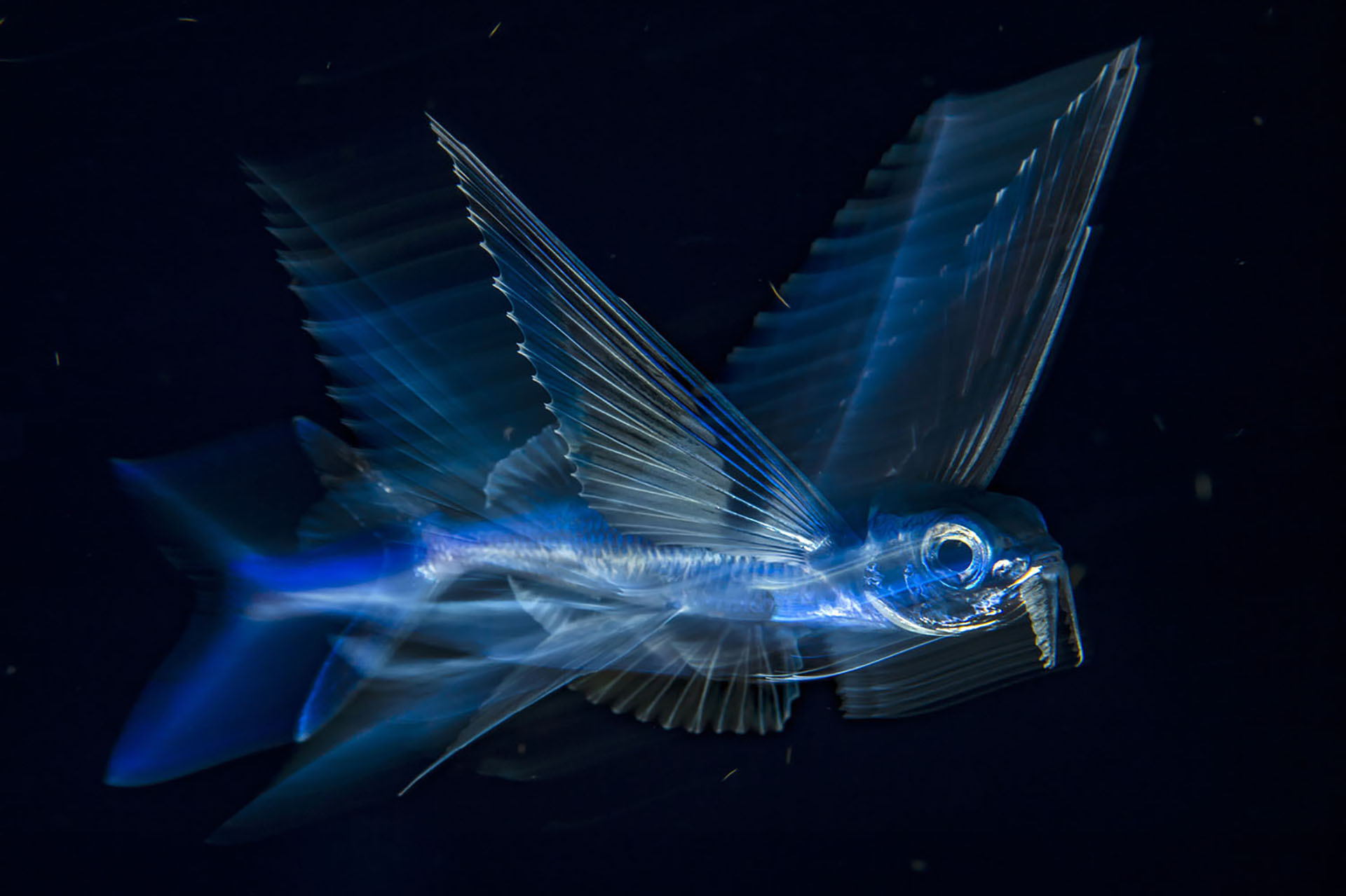 Animado por la corriente del Golfo, un pez volador atraviesa el agua oscura de noche a cinco millas de Palm Beach, Florida.