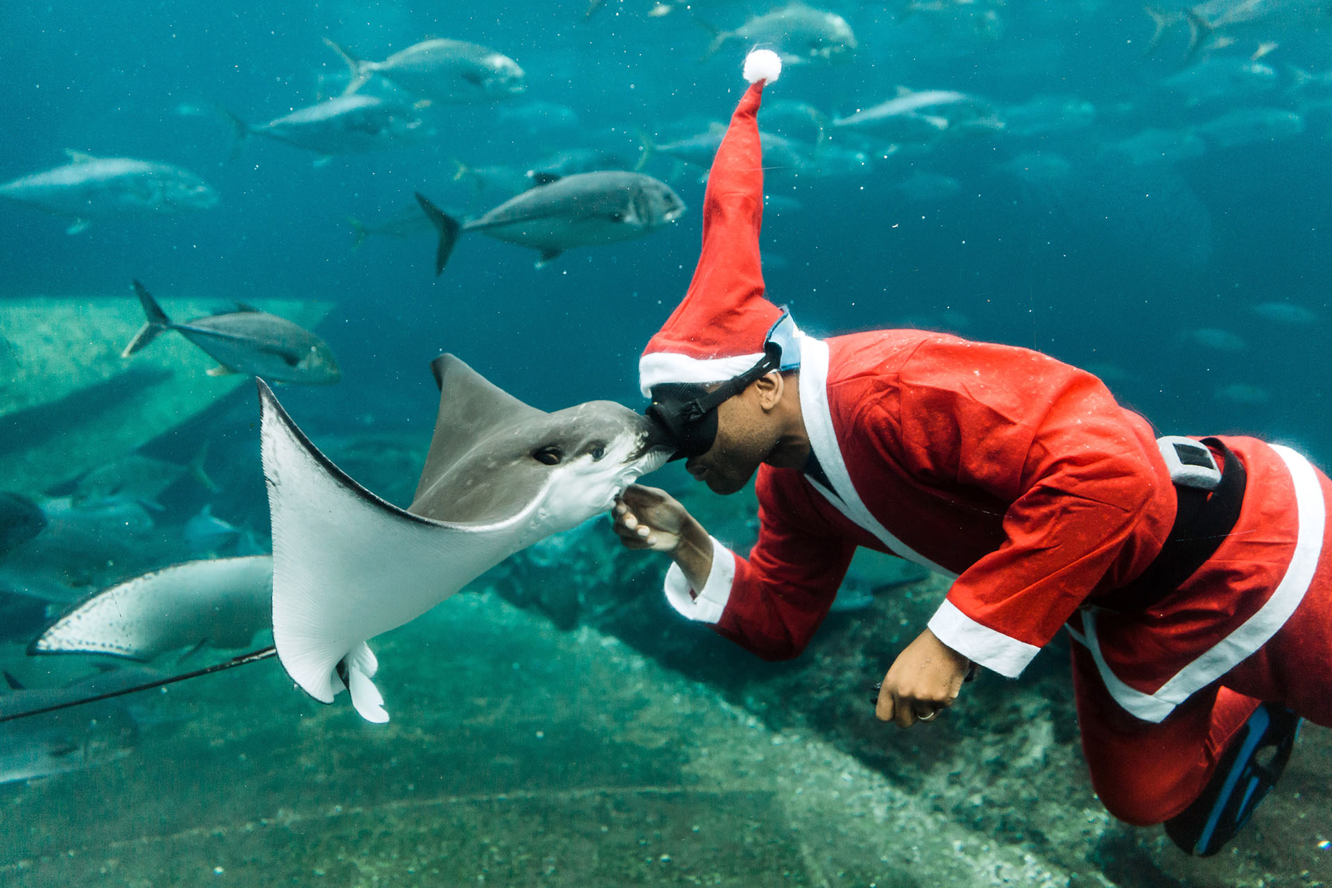 Un buceador sudafricano vestido de Papá Noel alimenta a una pez raya mientras nada en un acuario durante una exhibición antes de Navidad en el parque temático marino más grande de África, uShaka Sea World, en Durban el 19 de diciembre de 2017. (AFP)