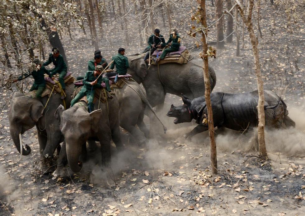Un rinoceronte en el Shuklaphanta National Park en Nepal carga contra los trabajadores del parque (PRAKASH MATHEMA/AFP/Getty Images)