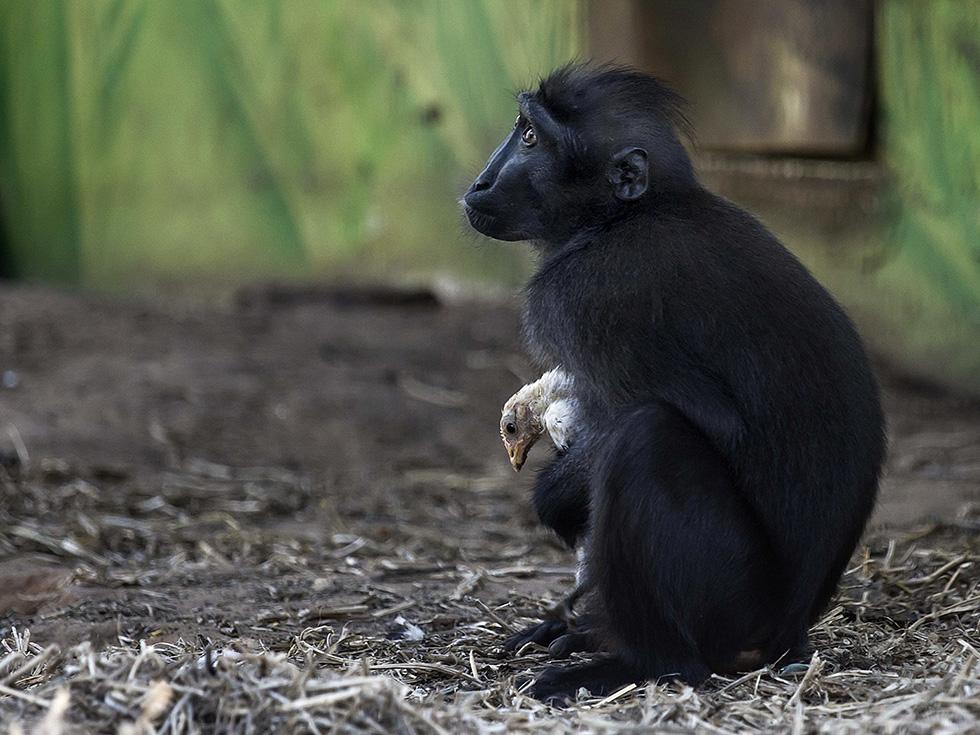 Un macaco en el parque safari Ramat Gan cerca de Tel Aviv con el pollito que adoptó después de que terminara en su espacio (AP/Tsafrir Abayov)