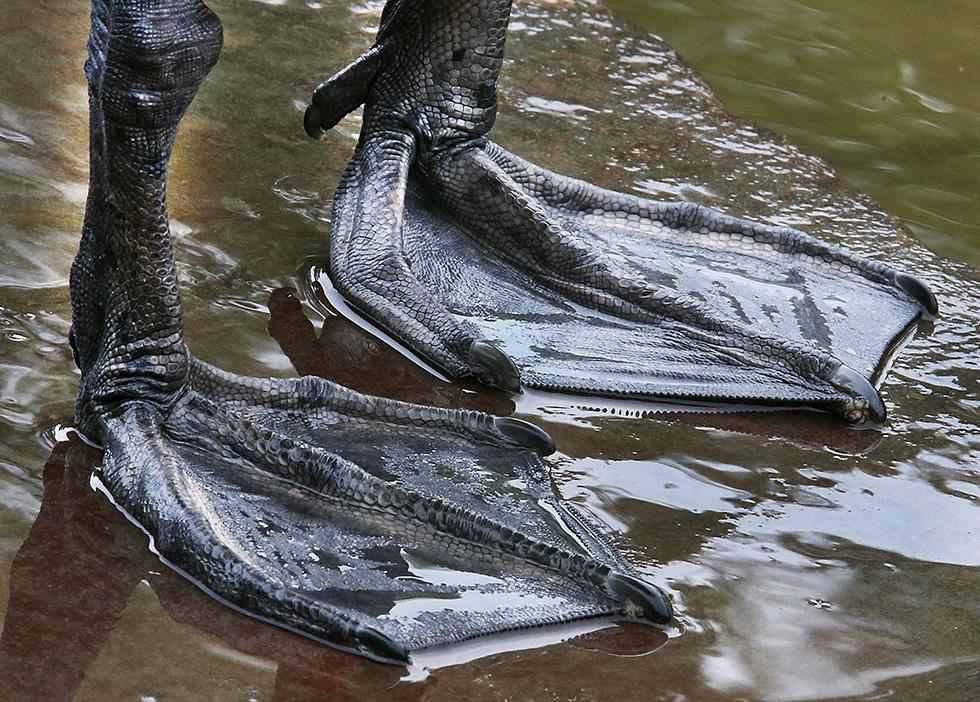 Las patas de un cisne en el río Meno en Frankfurt, Alemania (AP/Michael Probst)