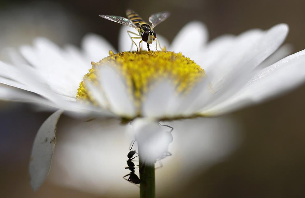 Insectos cerca de una flor de camomila en Minsk, en Bielorusia (AP/Sergei Grits)