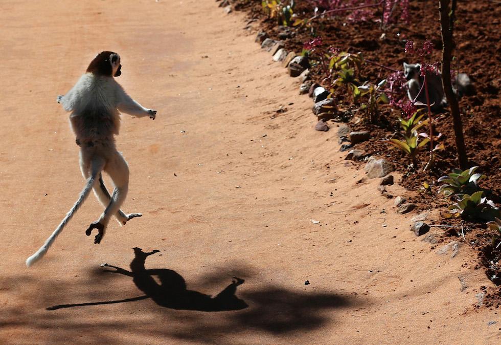 Un lémur en una reserva en Madagascar (Xinhua/Xu Congjun)