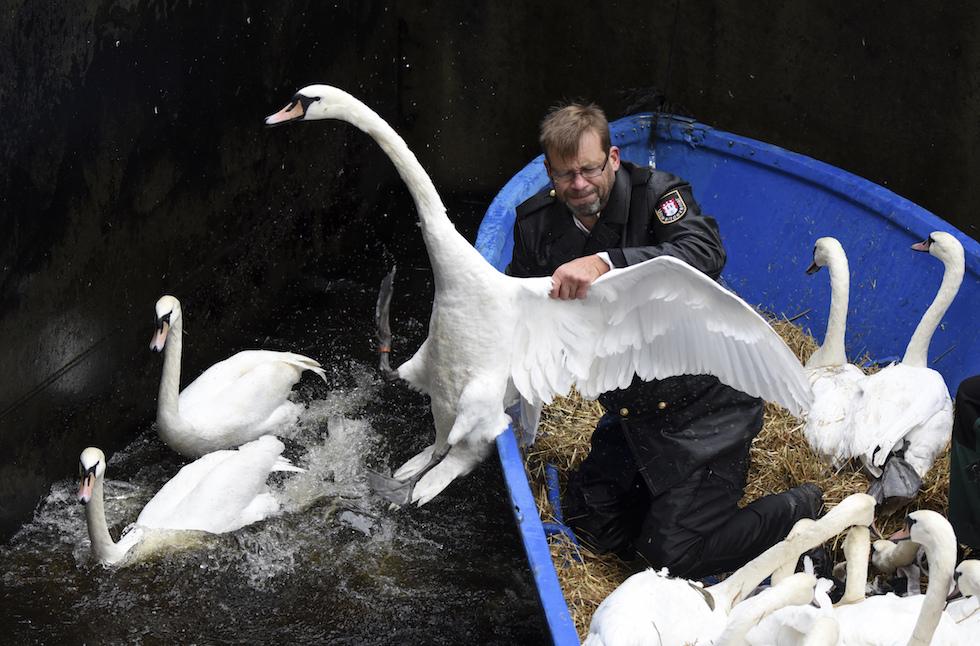 Un hombre intenta atrapar a un cisne en el río Alster, en Hamburgo, Alemania (Daniel Bockwoldt/dpa via AP)