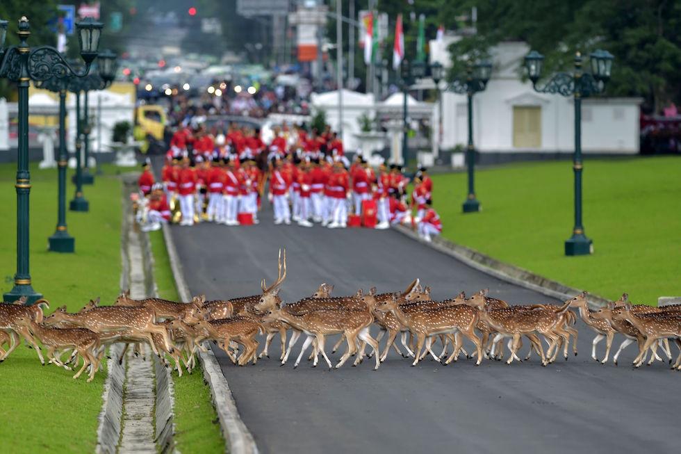 Ciervos pasan cerca de la guardia de honor de Indonesia que esperaba al rey de Arabia Saudita Salman bin Abdul Aziz en Bogor, Indonesia (ADEK BERRY/AFP/Getty Images)