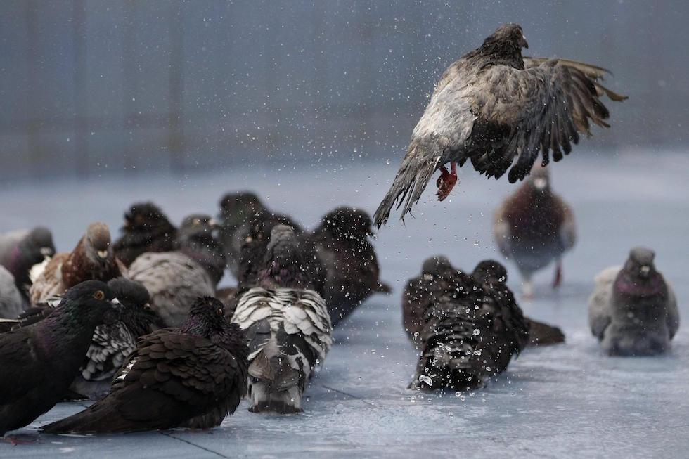 Un grupo de palomas en Cali, Colombia (EPA/Christian Escobar Mora)
