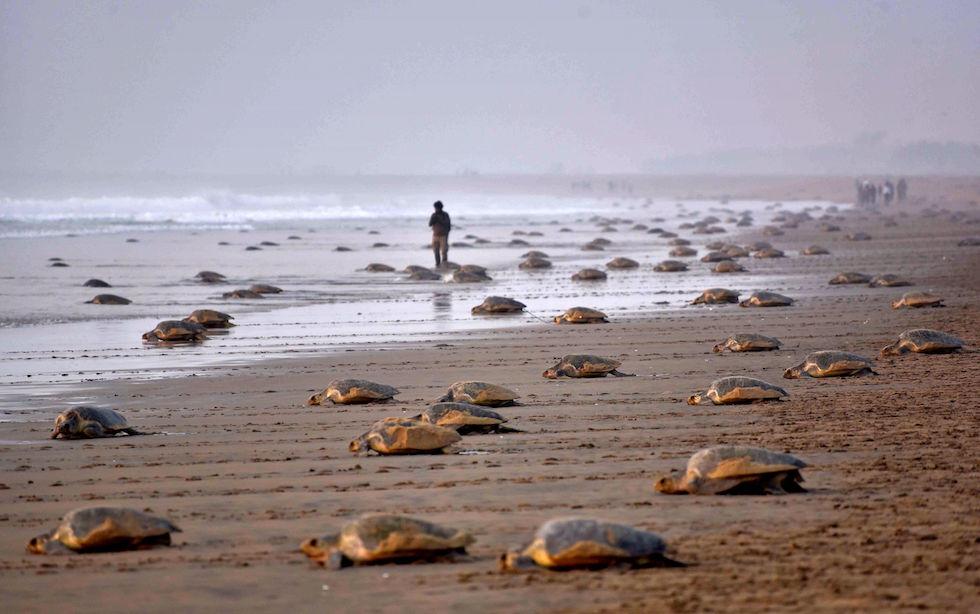 Tortugas oliváceas o golfinas (Lepidochelys olivacea) vuelven al mar tras haber dejado sus huevos en una playa de Rushikulya, en el estado indio de Orissa(ASIT KUMAR/AFP/Getty Images)