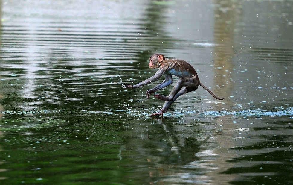 Un mono se lanza en un estanque en Allahabad en India. (SANJAY KANOJIA/AFP/Getty Images)
