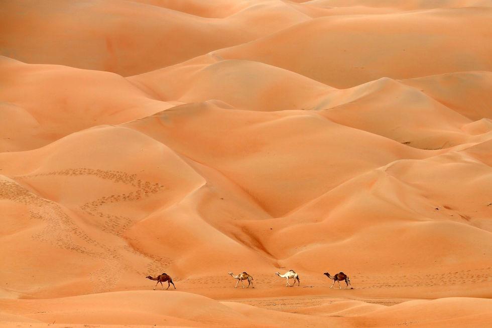 Camellos en el desierto de Hameem, en los Emiratos Árabes Unidos (KARIM SAHIB/AFP/Getty Images)
