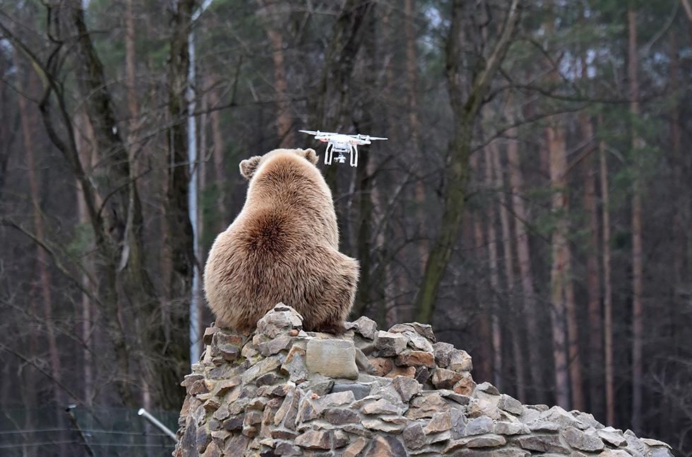 Un oso observa un dron en Zhytomyr, Ucrania (SERGEI SUPINSKY/AFP/Getty Images)