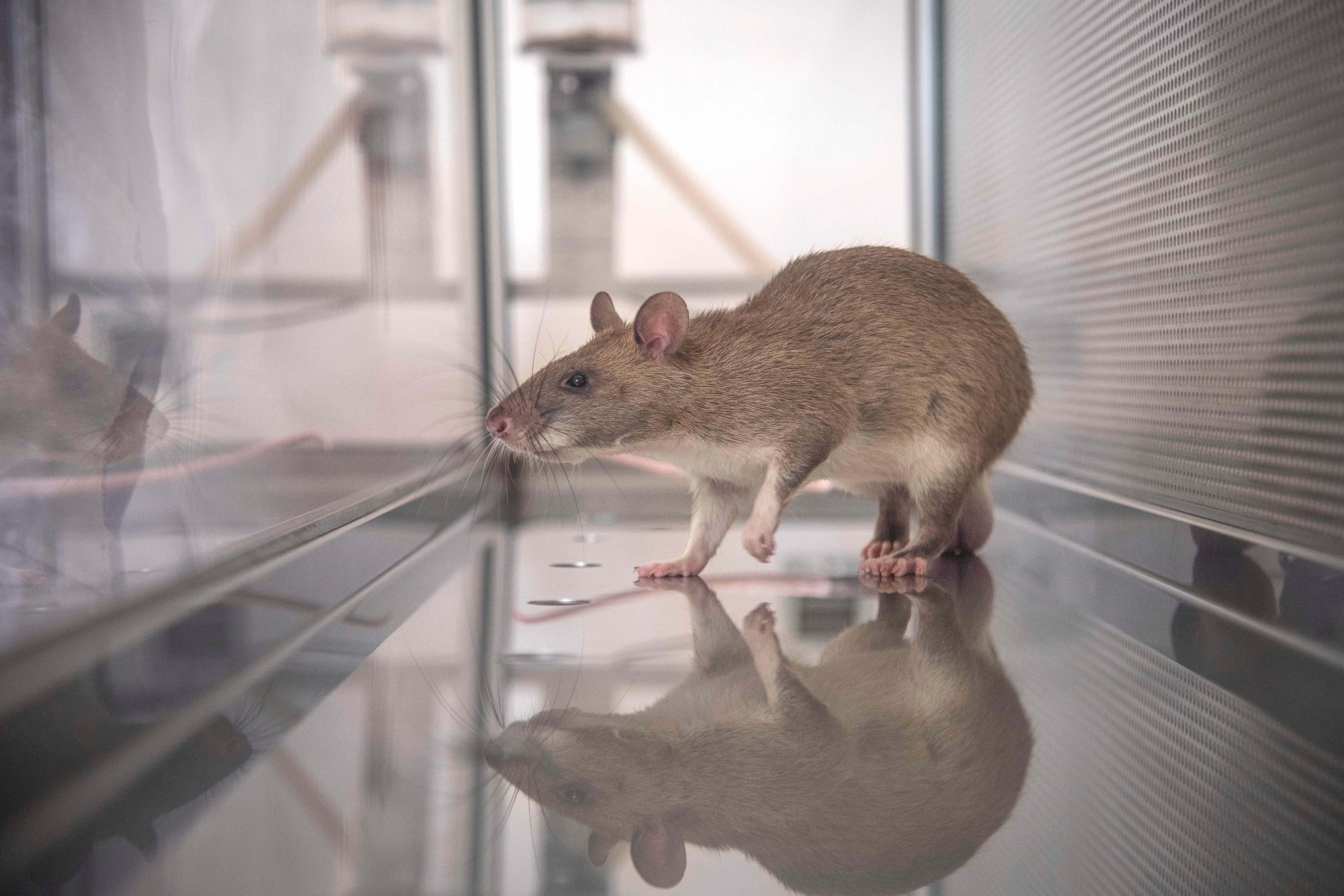 Esta rata africana gigante es una de las once entrenadas para detectar pangolines (The Washington Post / Cortesía de APOPO)