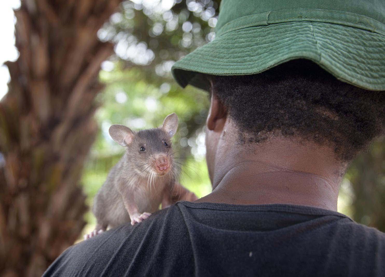 Una joven rata africana junto a su entrenador (The Washington Post / Cortesía de APOPO)