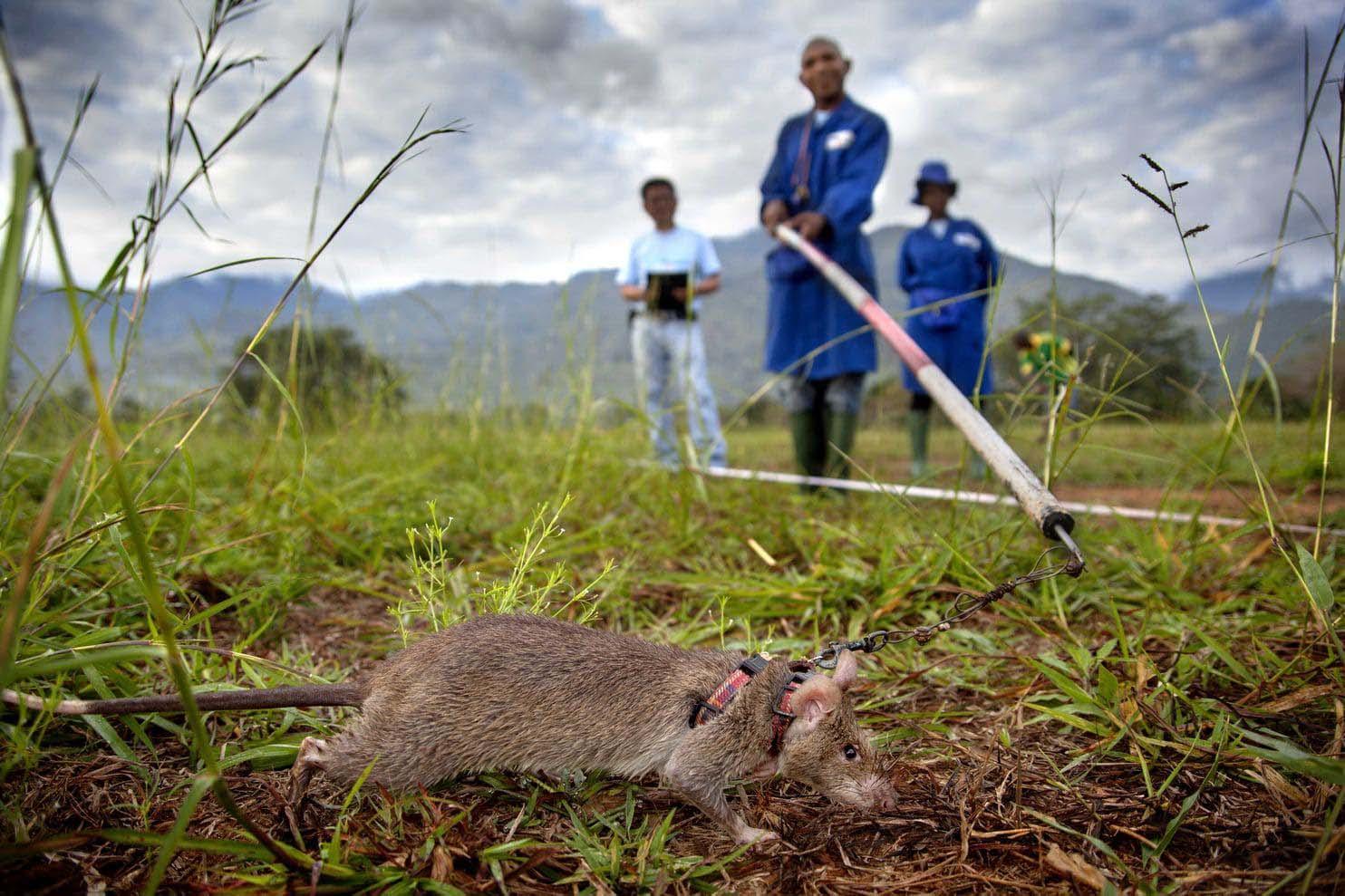 Una rata africana mientras su entrenamiento para detectar minas terrestres (The Washington Post / Cortesía de APOPO)