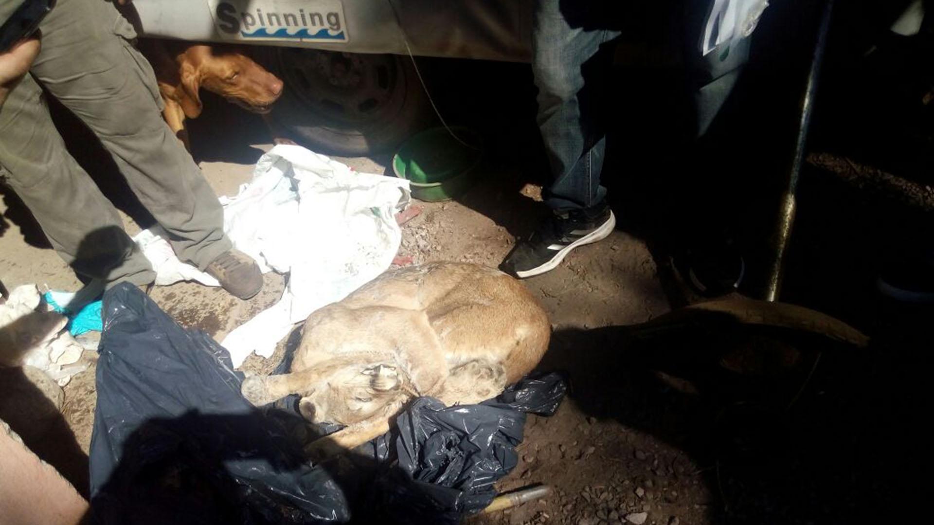 Cuerpo del puma tras ser incautado por la PFA.
