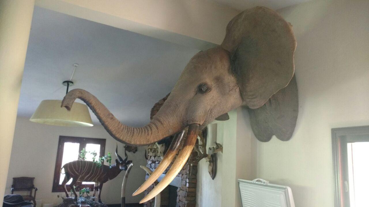 Cabeza de elefante en Santiago del Estero.