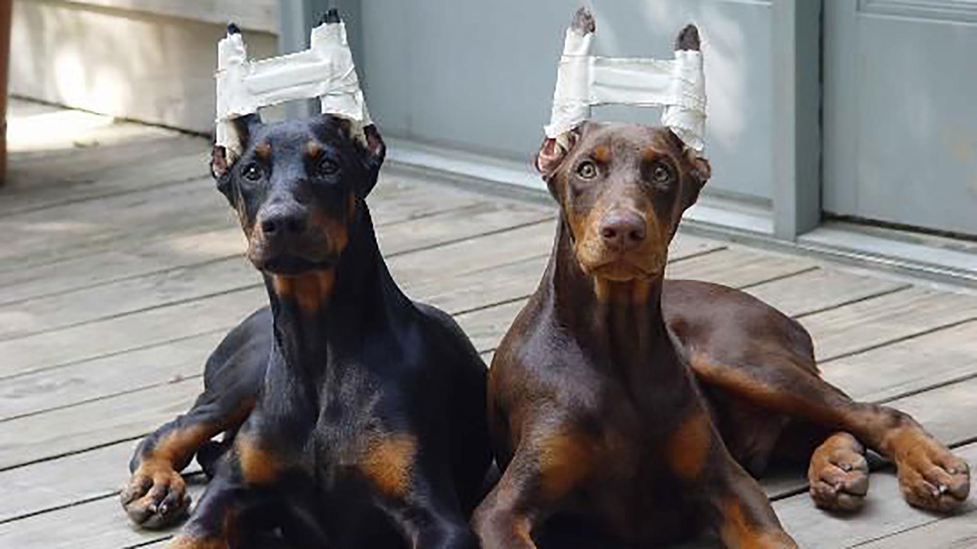 No más. En España ya no se podrá realizar cirugías de índole estética en los animales de compañía.