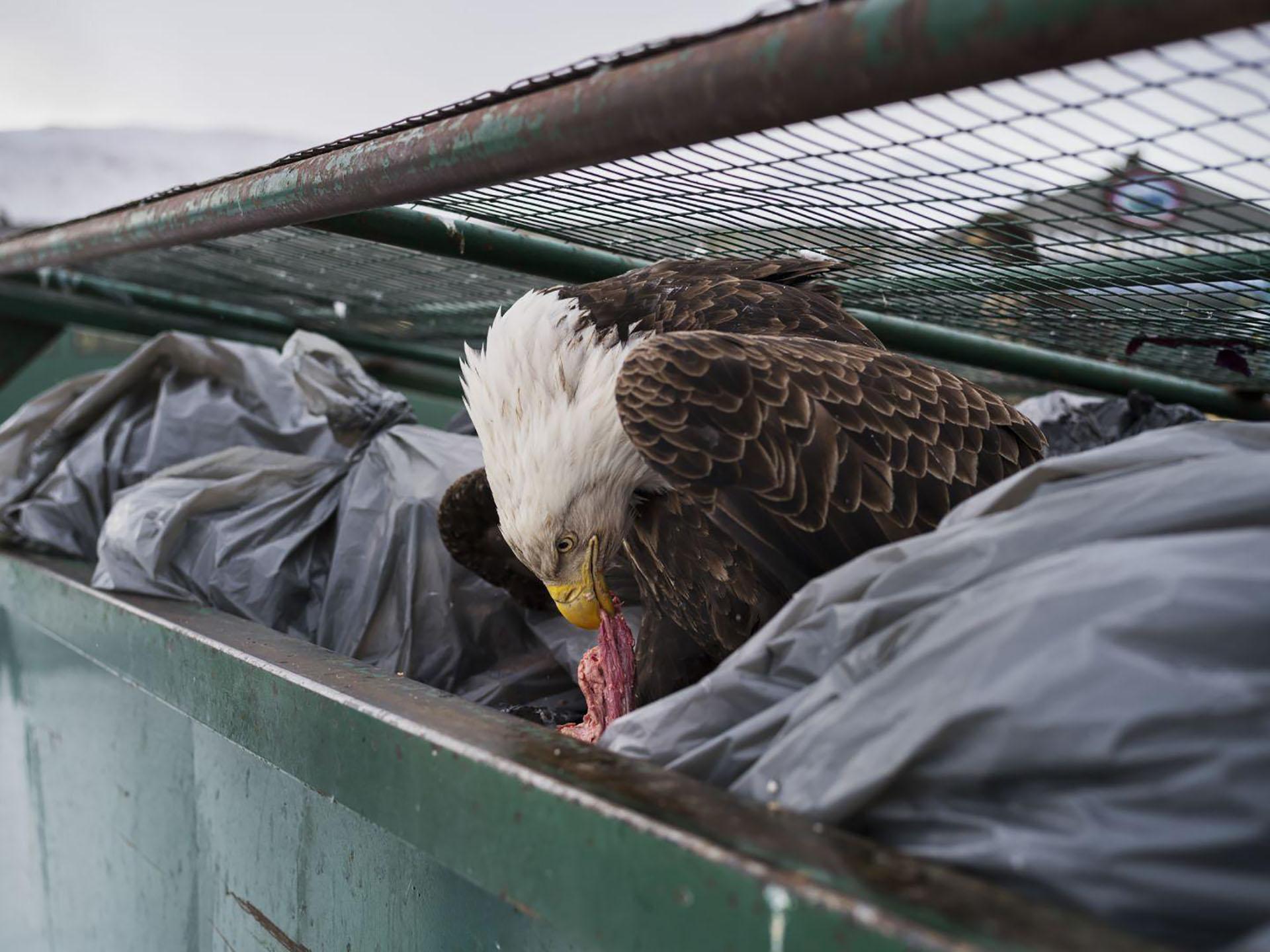 Dumpster Diver – Clavadista del contenedor de basura: un águila calva disfruta de los restos de carne en los contenedores de basura de un supermercado en Dutch Harbor, Alaska, Estados Unidos. (Corey Arnold, Estados Unidos)
