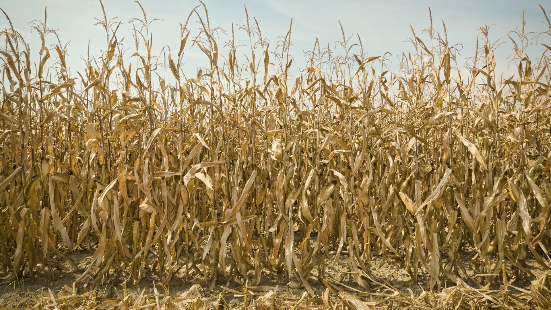La cosecha de maíz se focaliza en el centro del área agrícola, en las provincias de Córdoba, Santa Fe y Buenos Aires