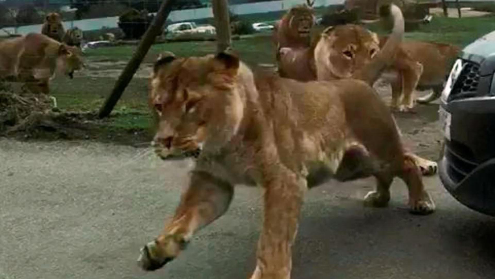 Los leones persiguen a la hembra de la manada