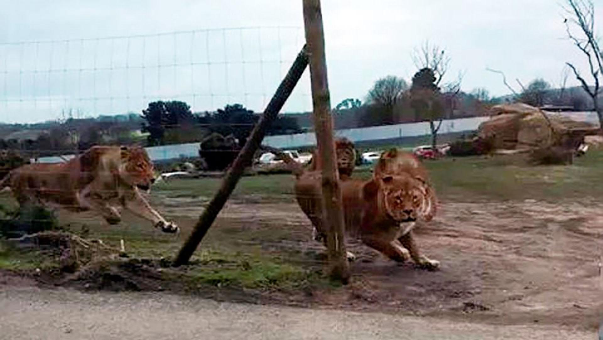 La hembra intenta escapar de los leones