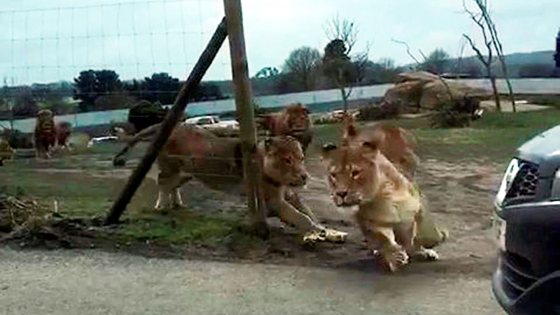 Los leones persiguen a la hembra en celo