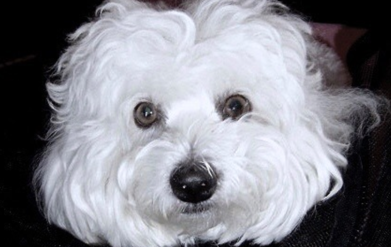 Samantha, la perra de la que descienden sus dos clones (Foto: Barbra Streisand)