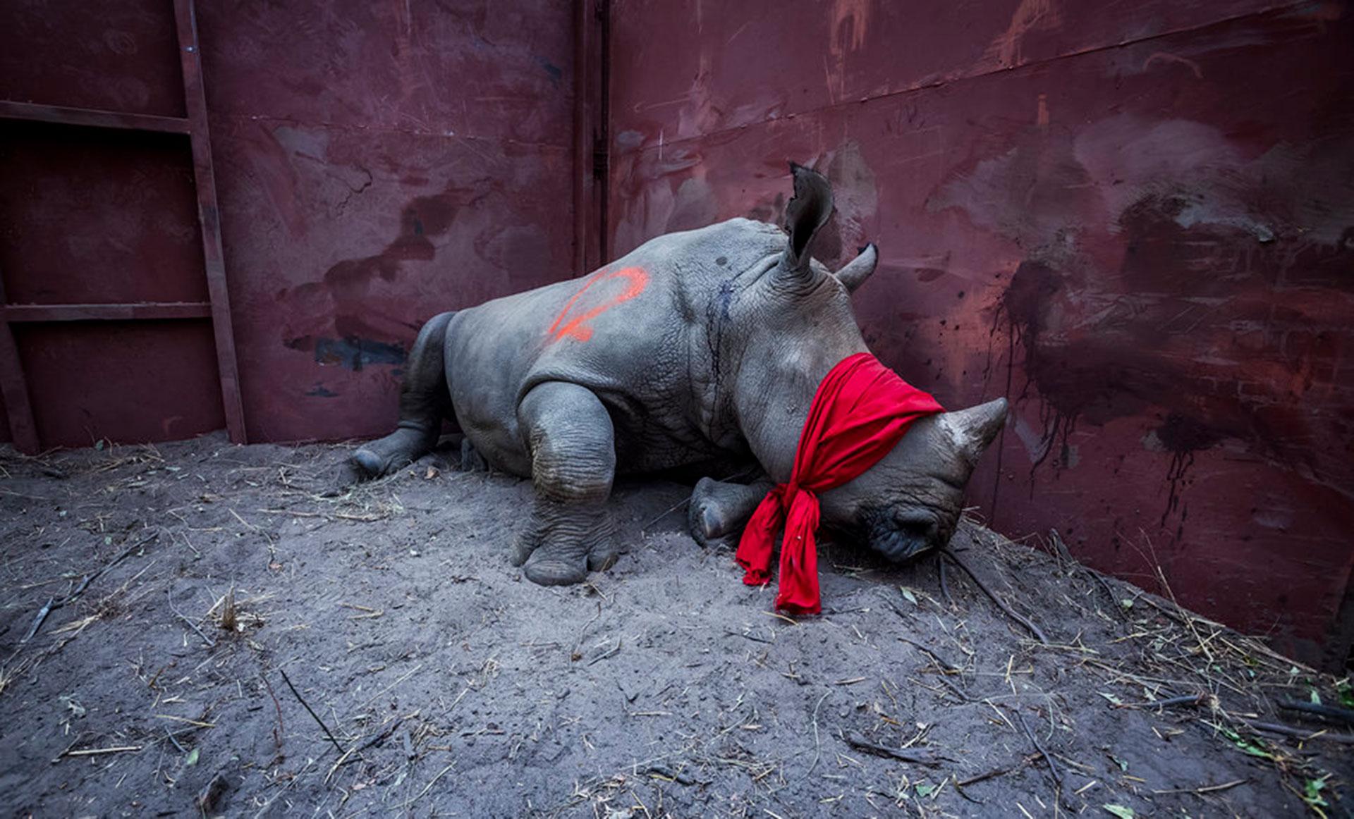 """Competencia """"Profesional"""" – Categoría """"Naturaleza y Vida Silvestre"""": un joven rinoceronte blanco espera en un boma, con los ojos vendados y parcialmente drogado después de un largo viaje desde Sudáfrica, antes de ser liberado a la naturaleza en Botswana como parte de los esfuerzos para reconstruir las poblaciones de rinocerontes perdidas del país. (Gentileza Sony World Photography Awards)"""