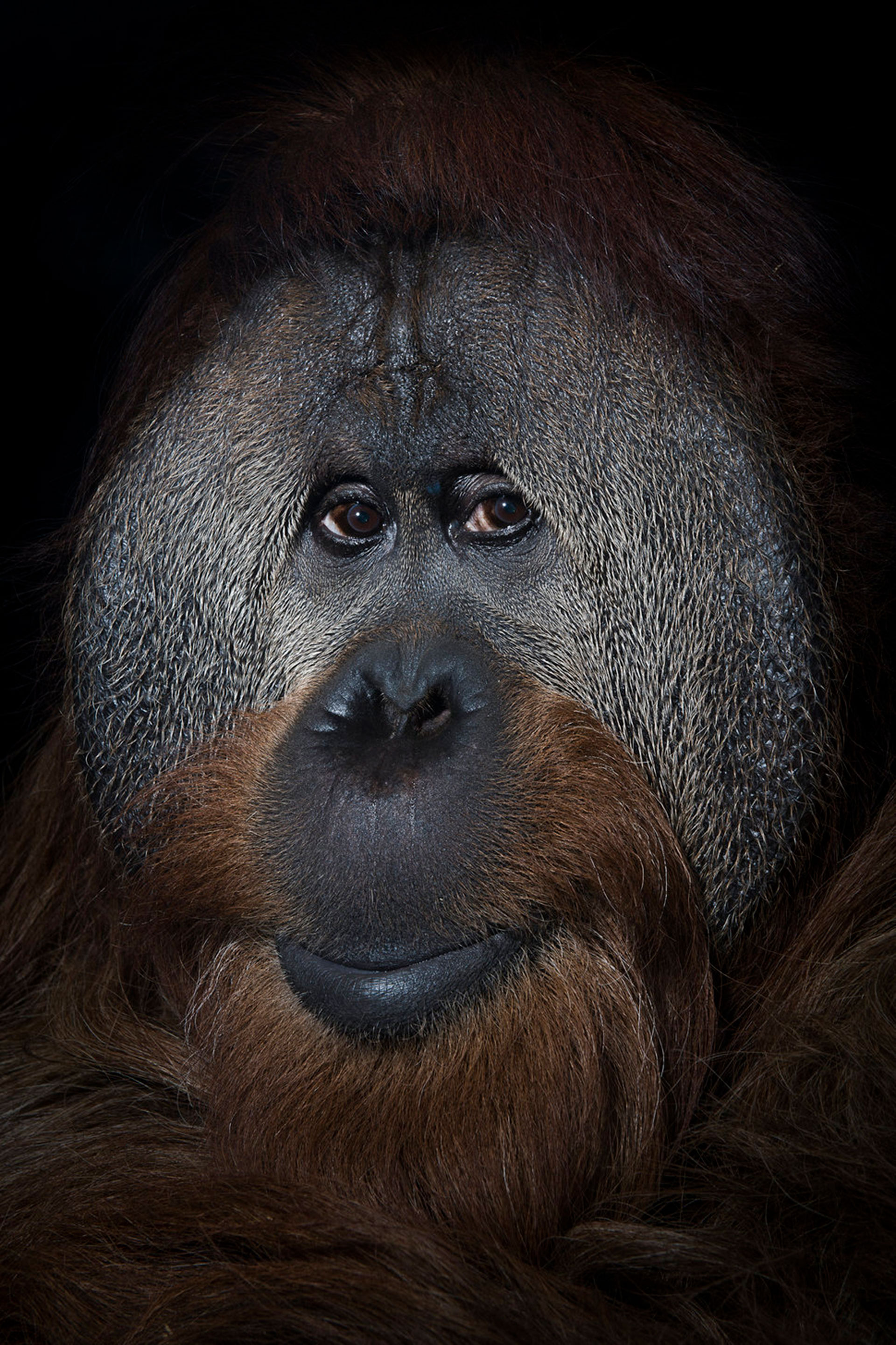 "Competencia ""Profesional"" – Categoría ""Naturaleza y Vida Silvestre"": Un orangután de 40 años llamado Azy en el Simon Skjodt International Orangutan Center en Indianápolis, Indiana. (Gentileza Sony World Photography Awards)"