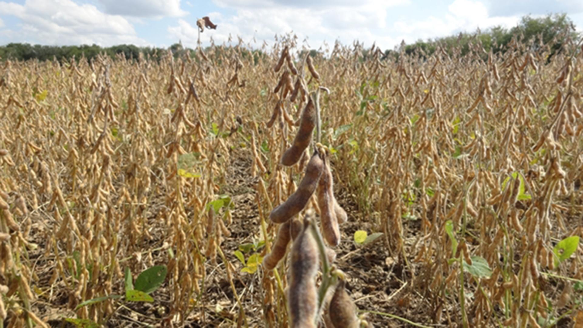 La sequía sigue impactando en la campaña de cultivos de gruesa