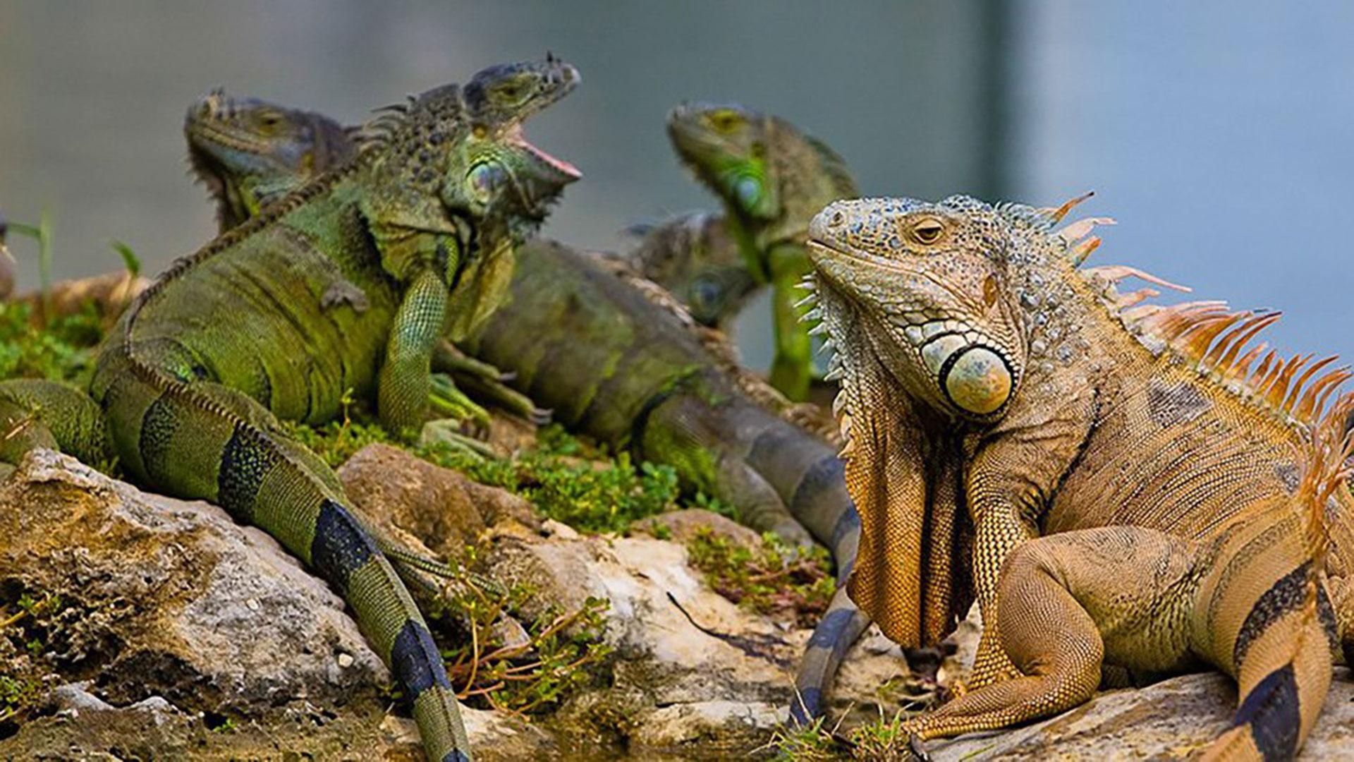 Los expertos señalan que el clima subtropical del centro y sur de Florida permite que estos lagartos herbívoros sobrevivan, se reproduzcan y se conviertan en parte del medio ambiente