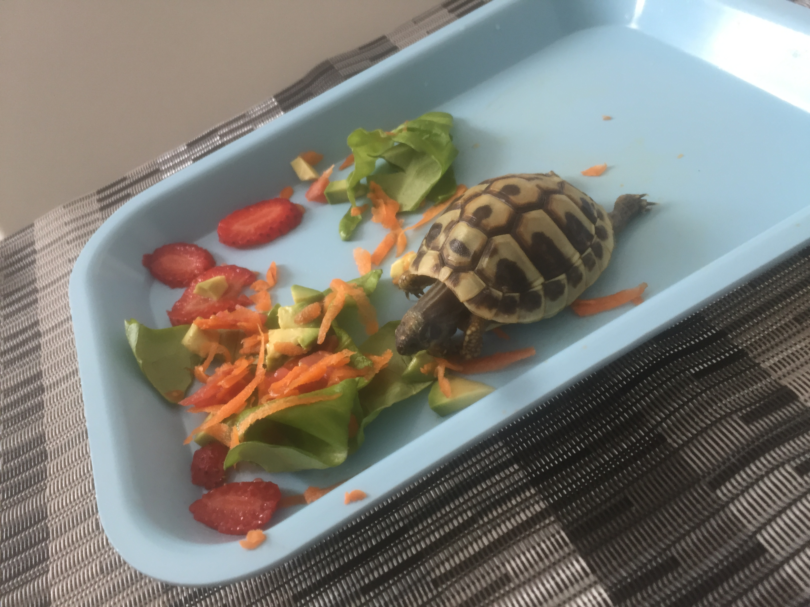 """El Centro de Control y Prevención de Enfermedades aclara que """"todas las tortugas"""", independientemente de su tamaño, pueden portar la bacteria de la salmonella incluso si se ven sanas y limpias"""