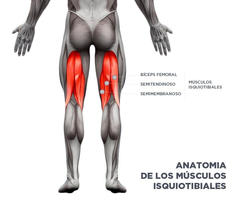 Las tres porciones musculares que componen los isquiotibiales (Foto: drdomingodelgado)