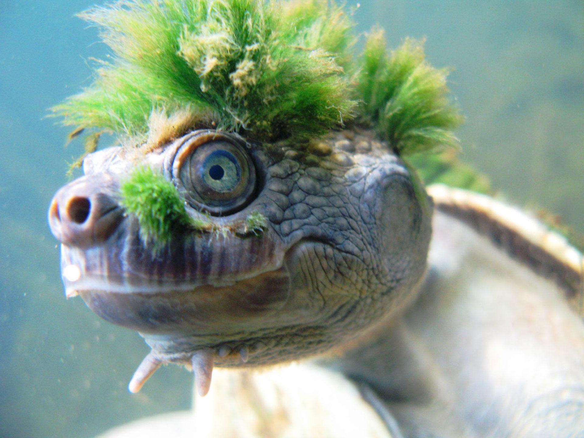 Esta tortuga 'punk' está en peligro de extinción