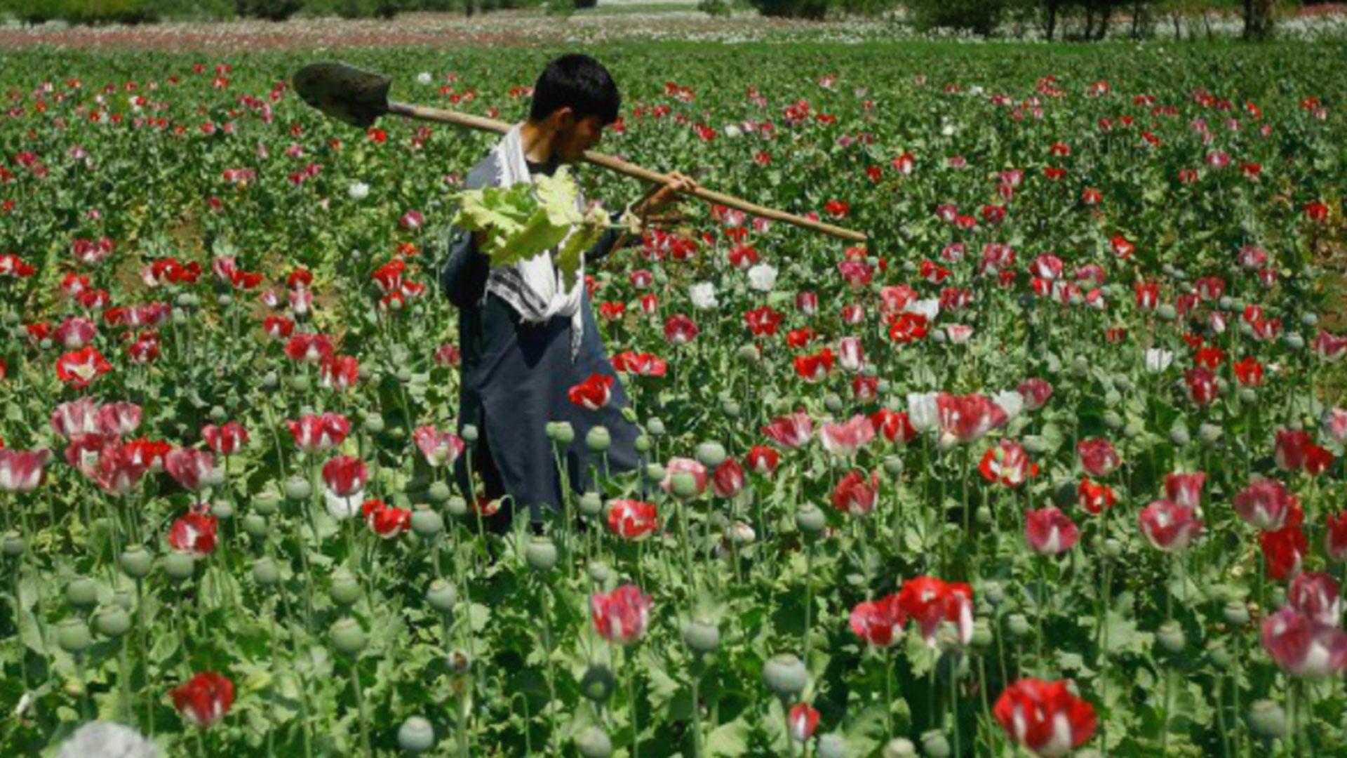 De la Montaña de Guerrero sale la goma que produce el opio y la heroína.